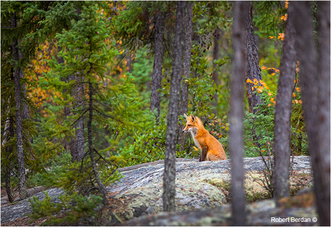 Red fox sitting in forest by Robert Berdan ©
