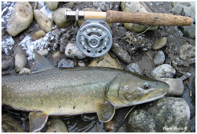 Bull trout and fly rod by Frank Wood ©