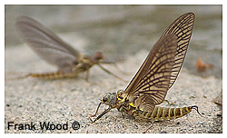 Mayfly by Frank Wood ©