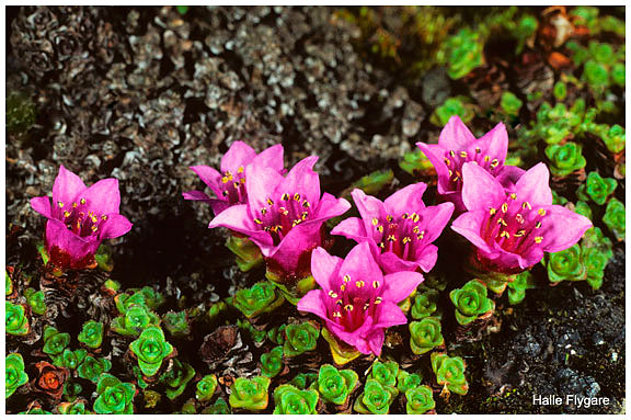 Purple Saxifrage by Halle Flygare ©