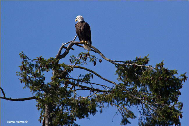 Bald Eagle by Kamal Varma ©
