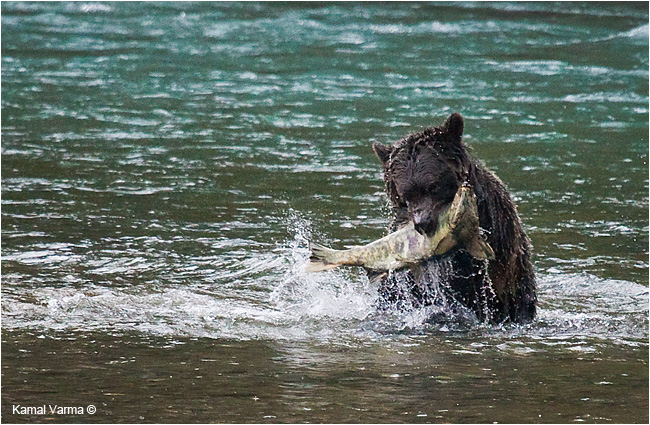 Grizzly bear capturing a salmon by Kamal Varma ©