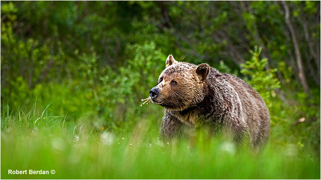 Grizzly bear feeding on dandelions by Robert Berdan ©