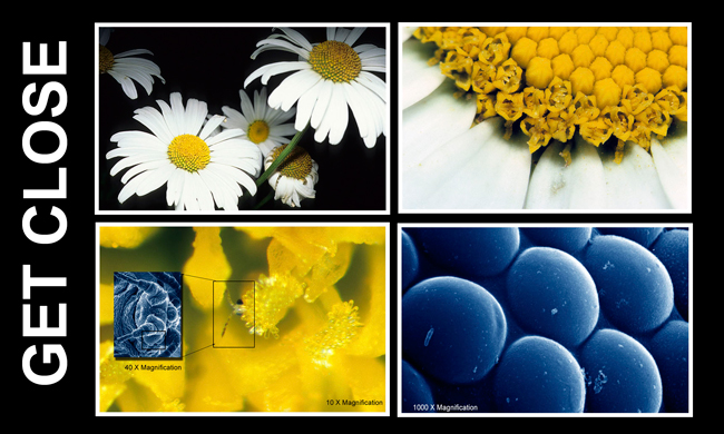 Daisy at various magnifications by Robert Berdan