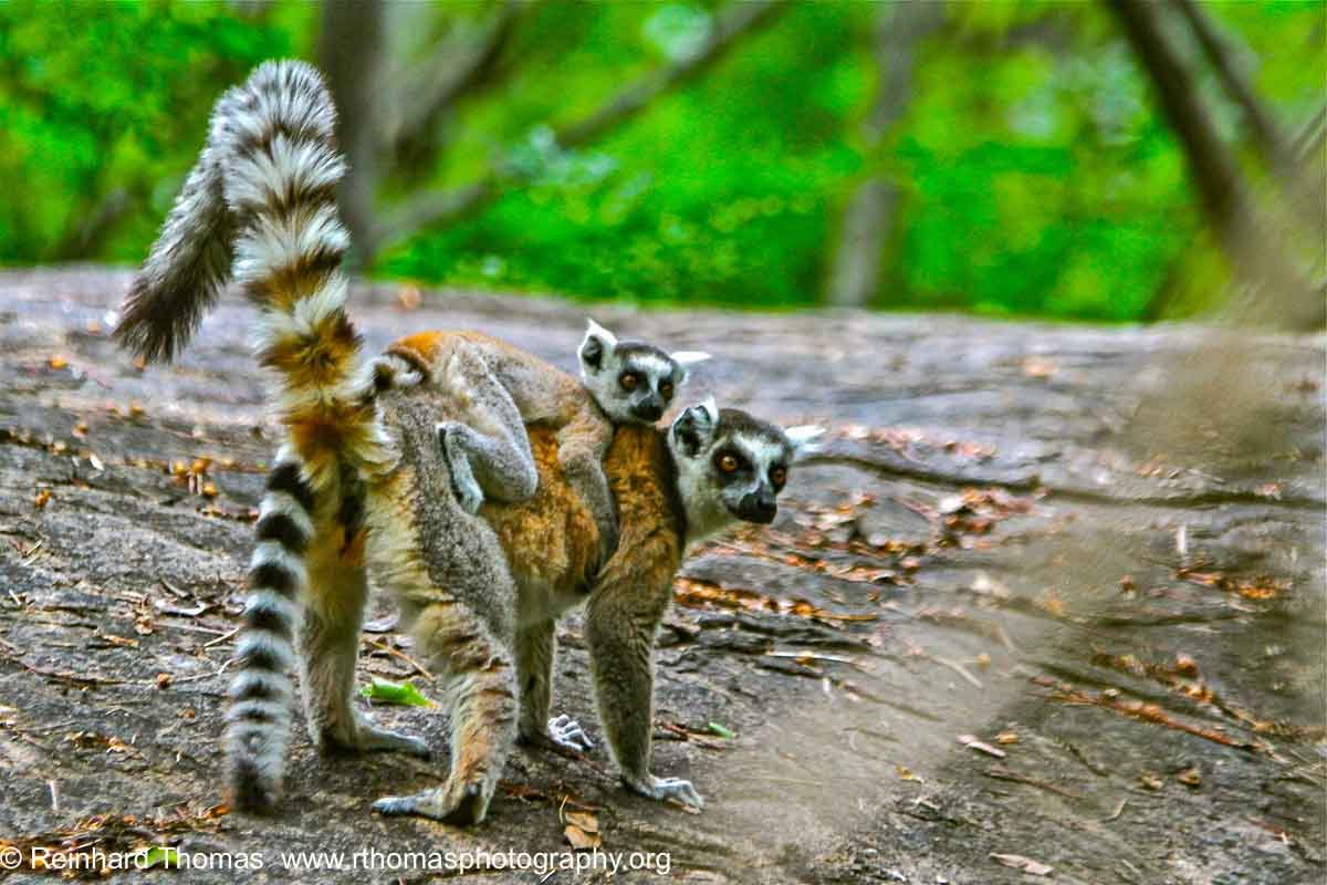 Lemur Madagascar by Reinhard Thomas ©