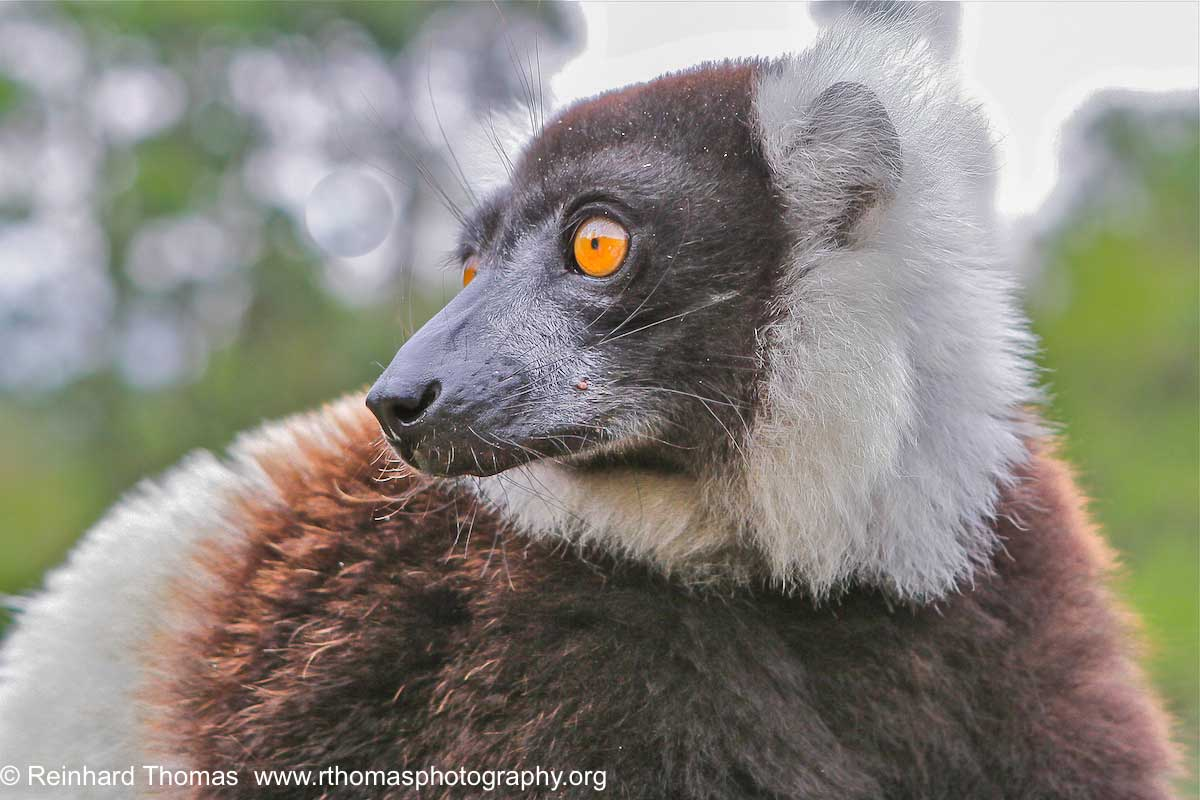 Lemur by Reinhard Thomas ©