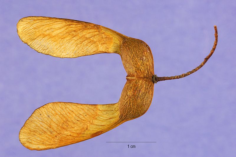 Sugar maple seed photo by Steve Hurst
