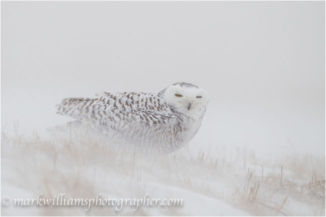 Adult female snowy owl in snow storm by Mark Williams ©