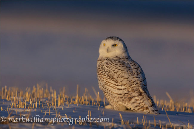 snowy owl sitting on ground by Mark Williams ©