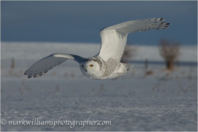 female snowy owl taken with wide angle lens by Mark Williams ©