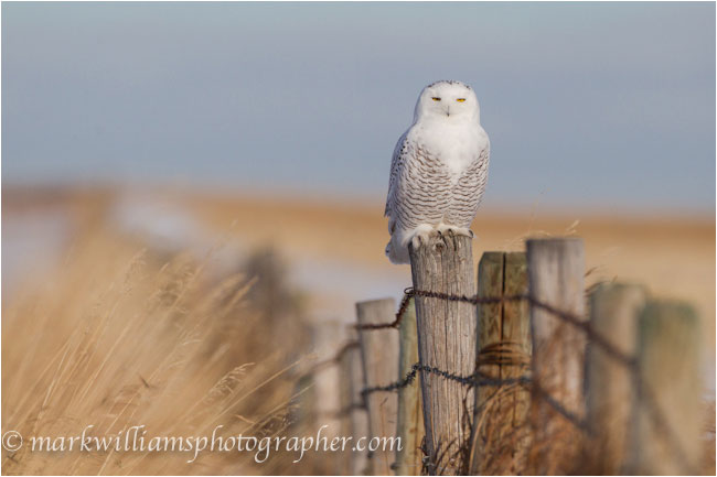 Immature male snowy owl on fence post by Mark Williams ©