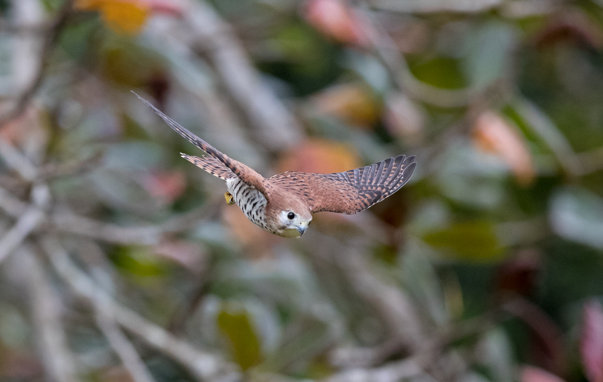 Male Kestral in flight by Mark Williams ©