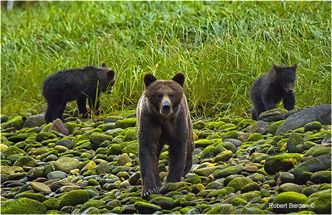 Grizzly sow and cubs in Mussel Inlet by Robert Berdan ©