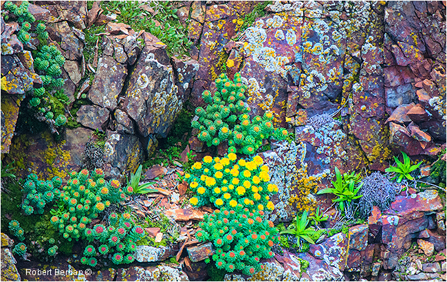 Wildflowers Newfoundland growing on cliff face by Robert Berdan ©