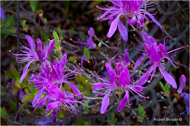 Rhodora flowering shrub Newfoundland by Robert Berdan ©