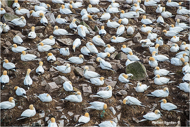 Nesting Northern Gannets Cape St. Mary's by Robert Berdan ©