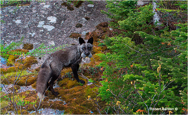 Fox with Vole Newfoundland by Robert Berdan ©