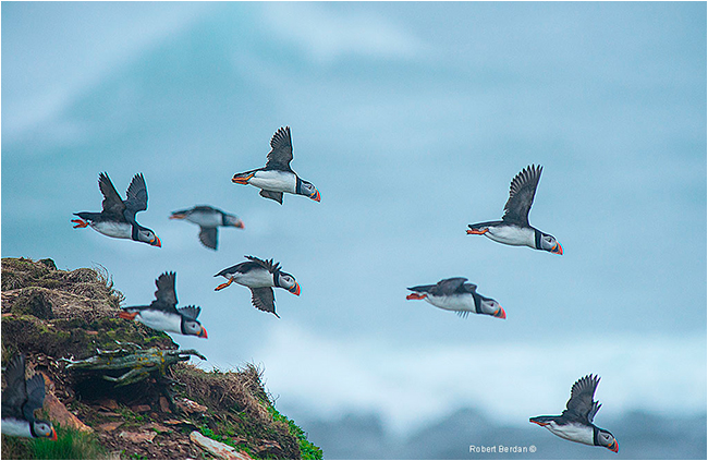 Puffins in flight by Robert Berdan ©