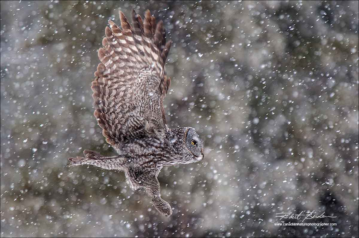 Great Gray owl in flight in a snowstorm by Robert Berdan ©