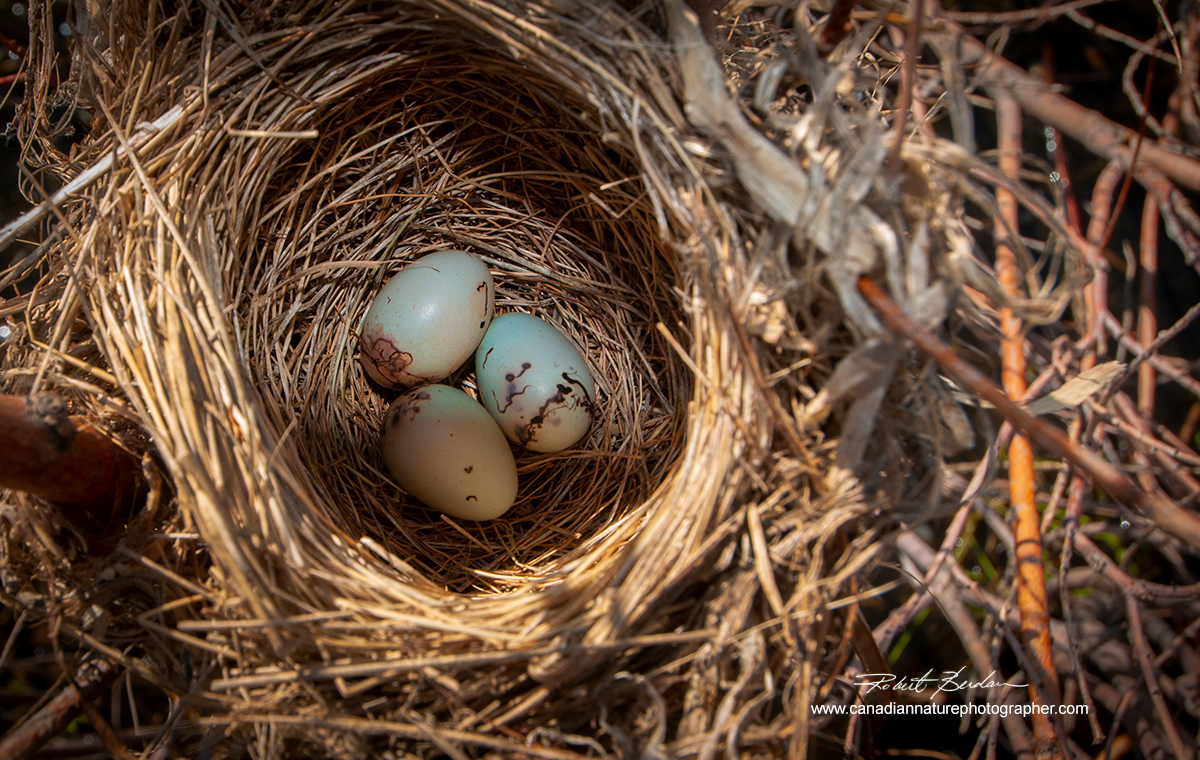 Eggs in a nest found around the edge of marsh east of Calgary by Robert Berdan ©