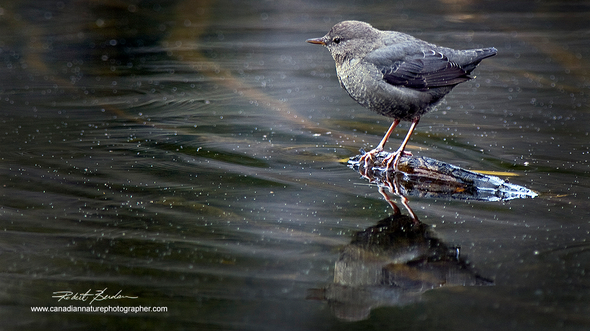 American Dipper photographed in a small pond next along the Spray Lakes road, Kananaskis, AB by Robert Berdan ©