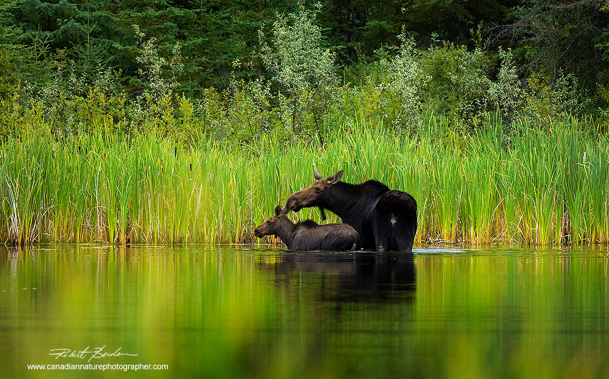 Moose and calf in shallow pond next to highway near High Level, Alberta by Robert Berdan ©