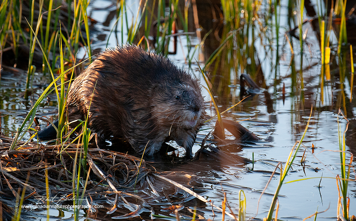 Muskrat in pond north of Calgary along highway 1A to Cochrane  by Robert Berdan ©