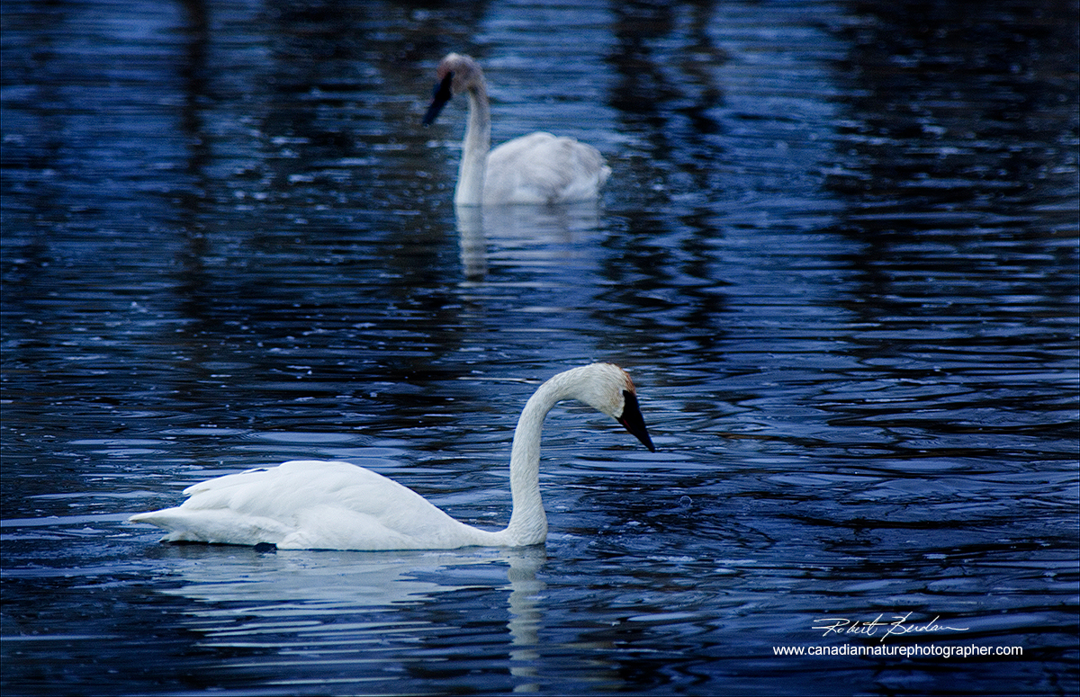 Trumpeter swans photographed in ponds next to highway 1 to Banff, Alberta by Robert Berdan ©