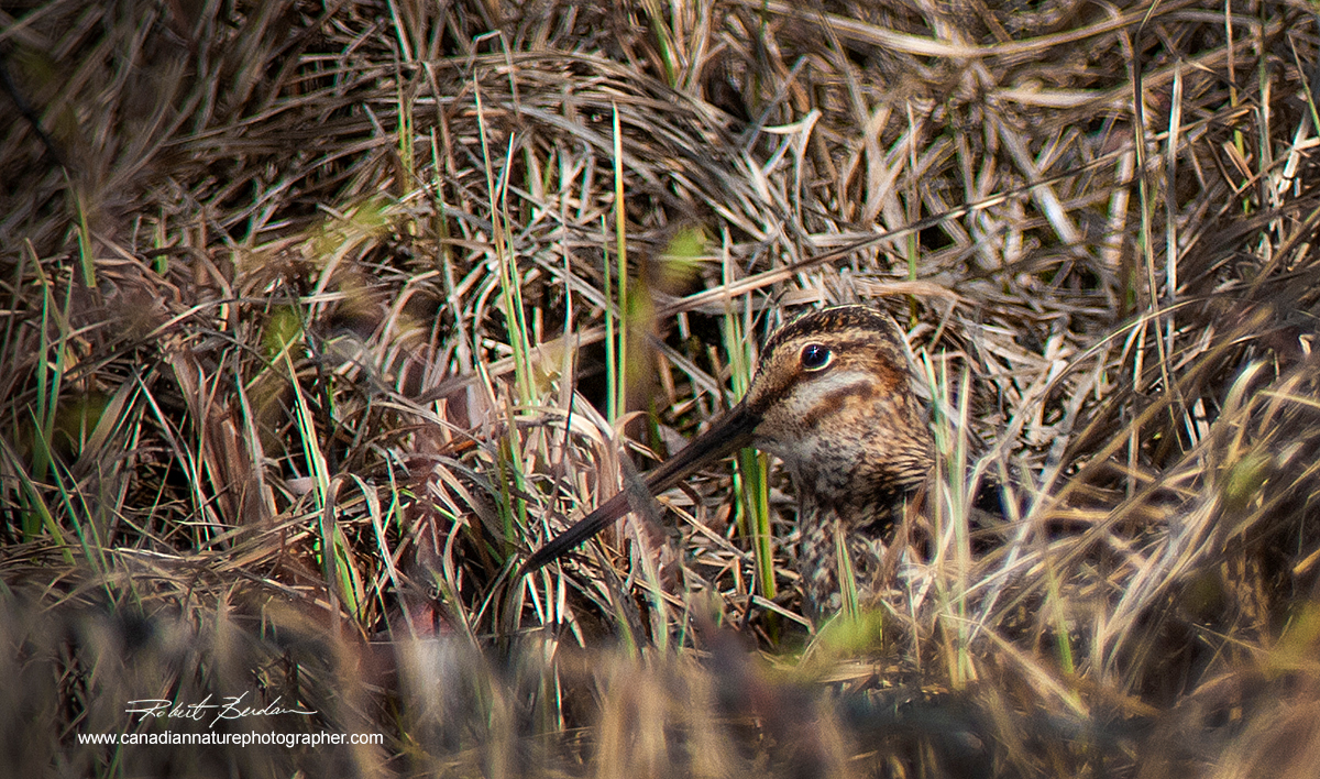 Common snipe hiding in the grass next to a small pond near Bragg Creek Alberta by Robert Berdan ©