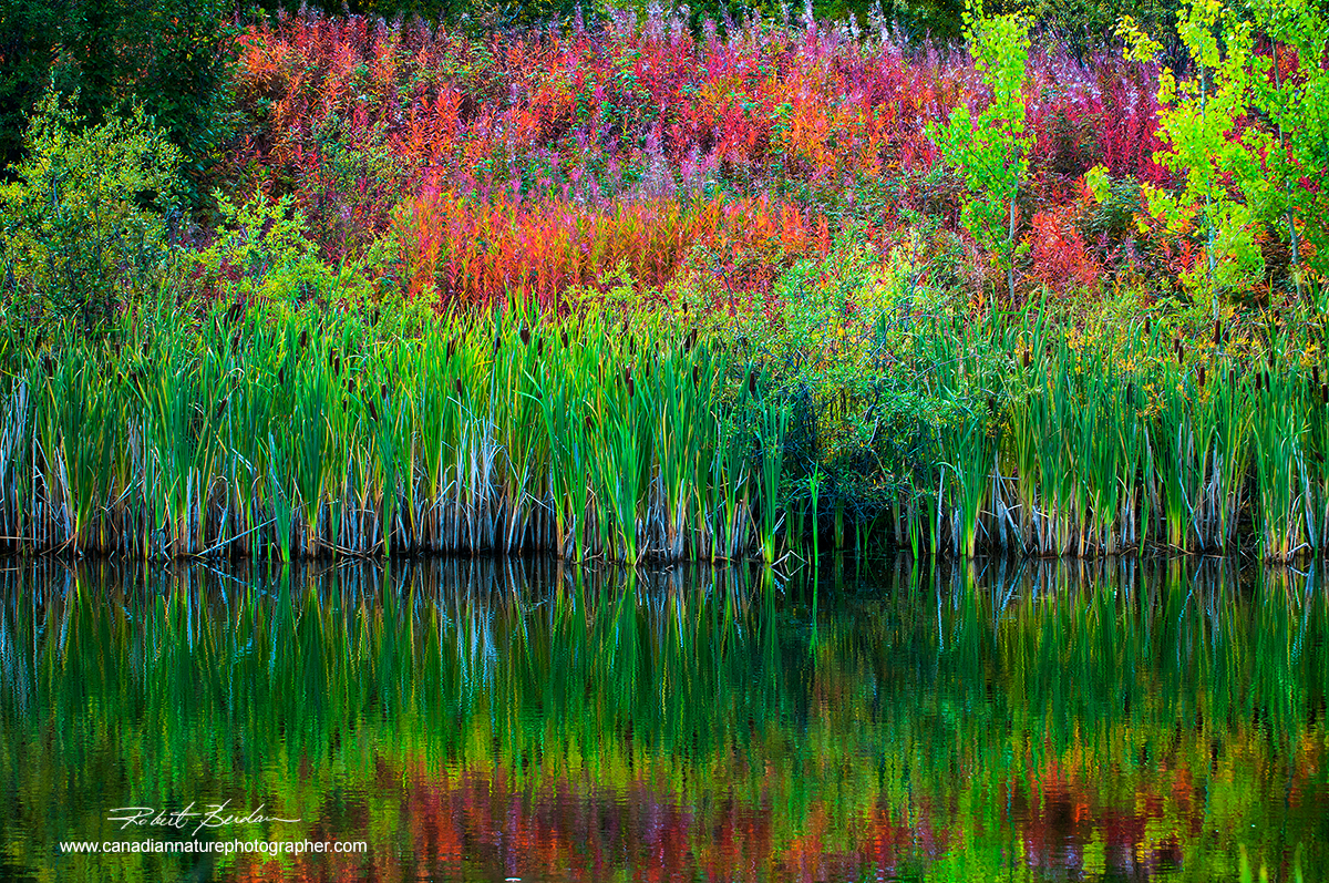 Cattails and Fireweed reflected in pond outside of Yellowknife, North West Territories by Robert Berdan ©