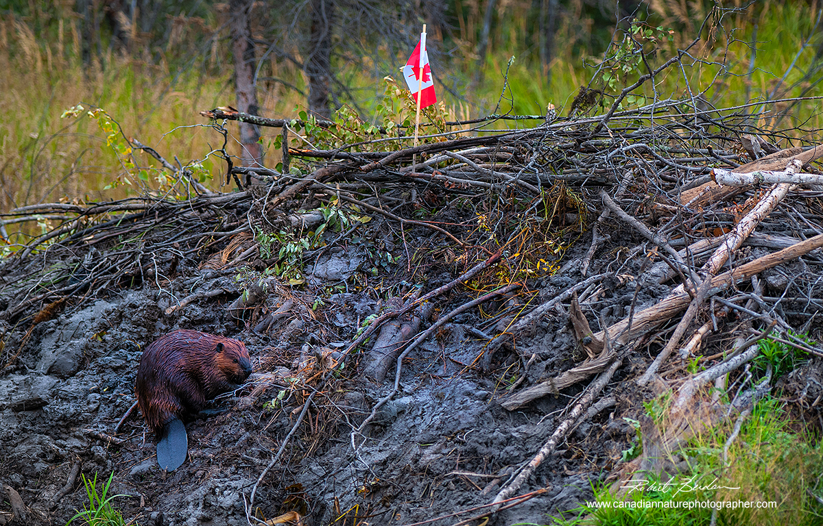 Beaver on his hut with a Canadian Flag by Robert Berdan ©