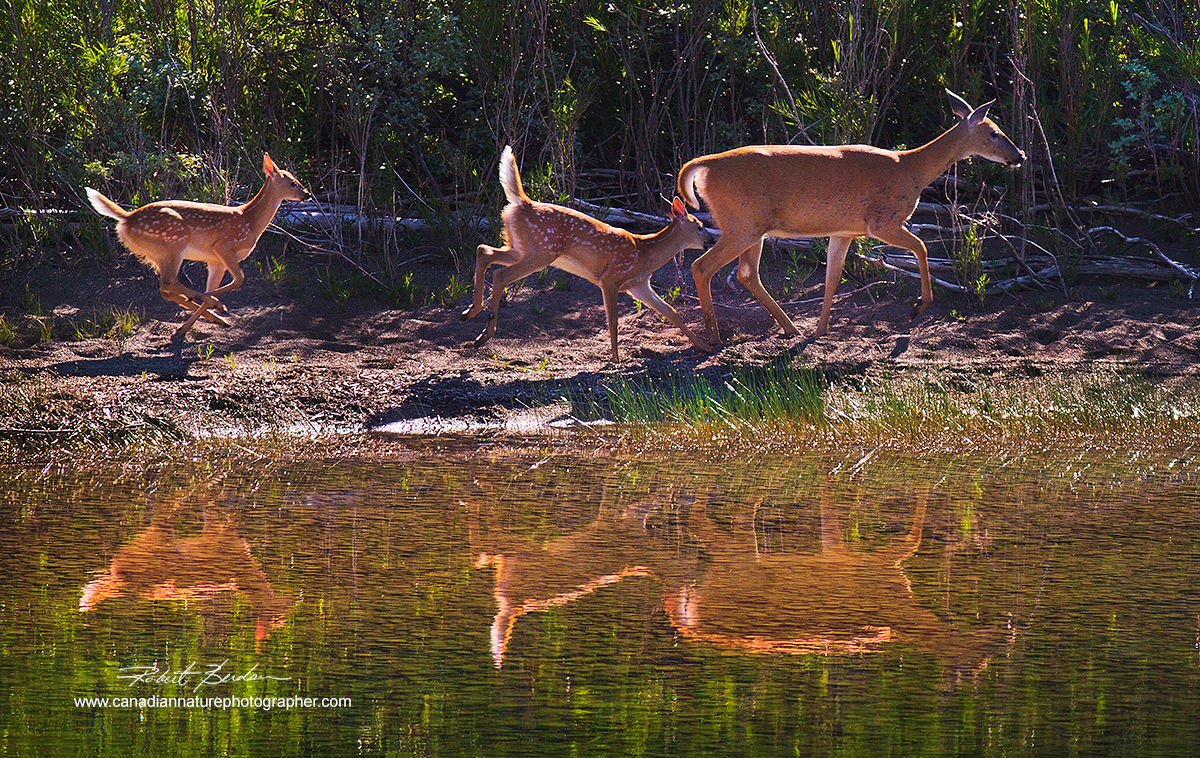 White-tailed deer and two Does next to a shallow pond in Waterton National Park, Alberta. Robert Berdan ©