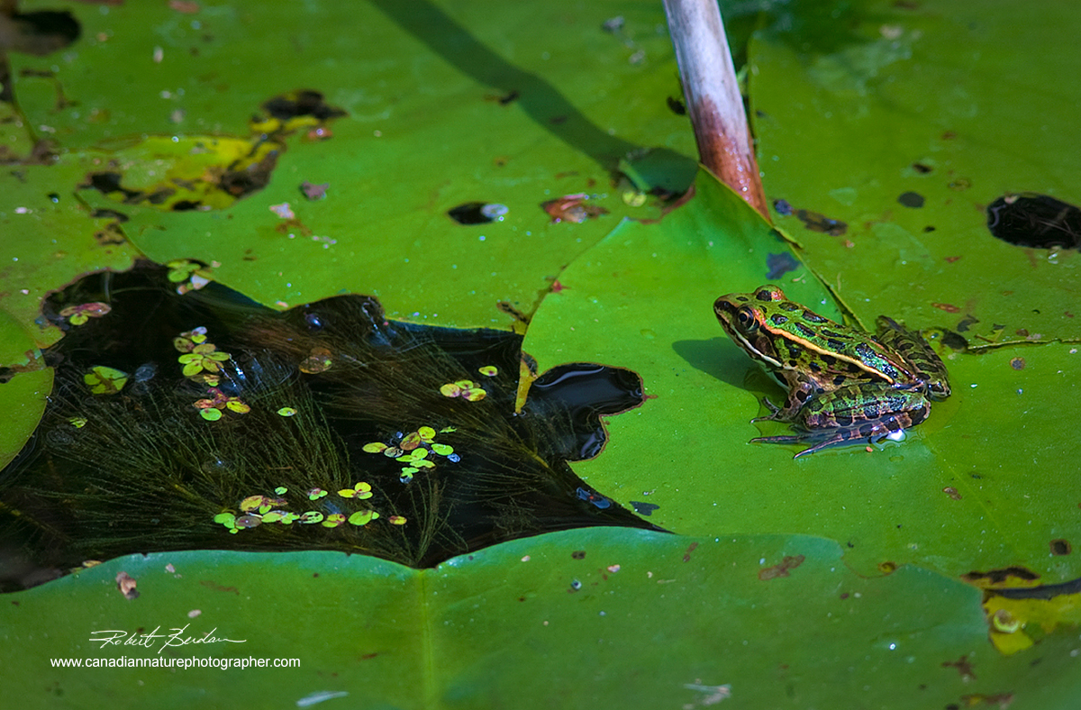 Leopard frog resting on Lilly pads, Wye Marsh, Midland, Ontario Robert Berdan ©