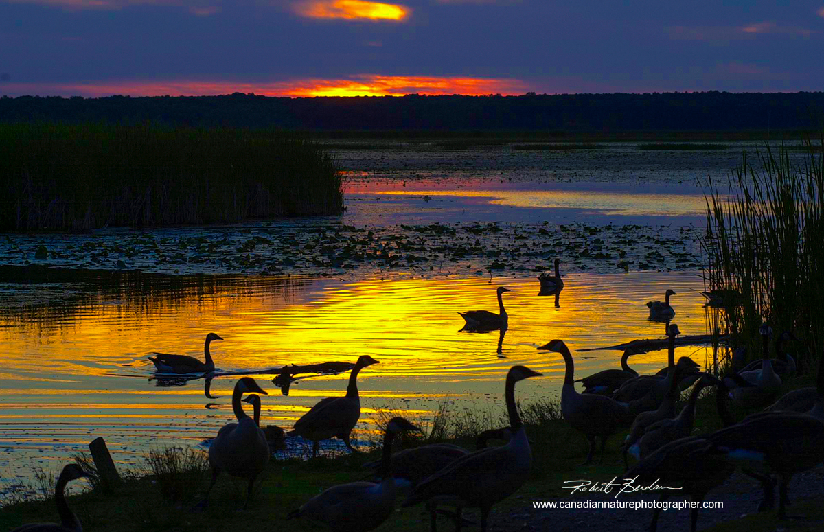 Sunset on Tiny Marsh, Ontario with Canada Geese in the foreground by Robert Berdan ©