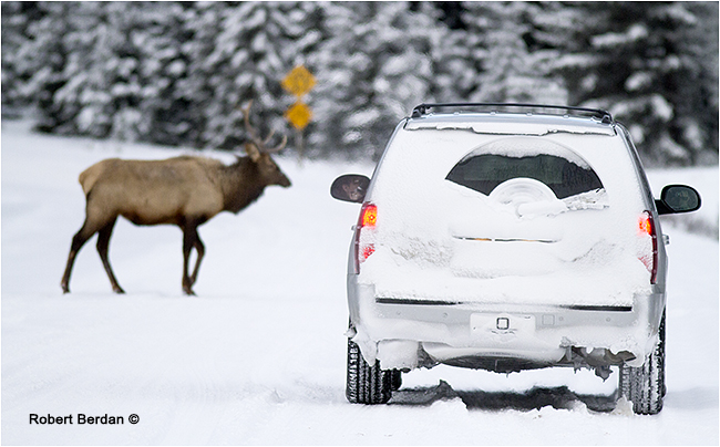 Elk crossing in front of cars on the Bow Valley Parkway in Banff National Park by Robert Berdan ©