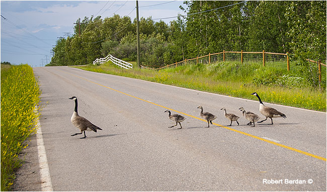 Canada geese with young crossing the road by Robert Berdan