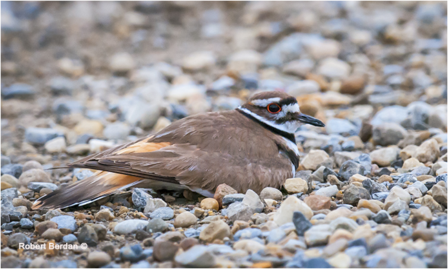 Killdeer in the middle of the road by Robert Berdan ©