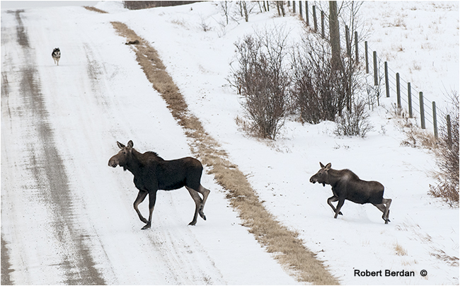 Mother and baby moose crossing the road by Robert Berdan ©