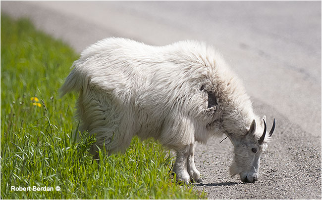 Maontain goat on highway by Robert Berdan ©