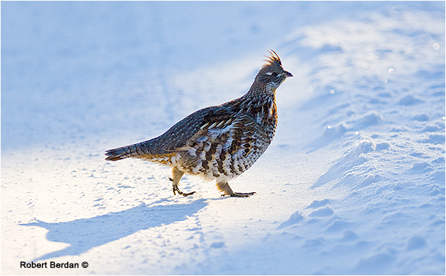 Spruce grouse crossing the road by Robert Berdan ©