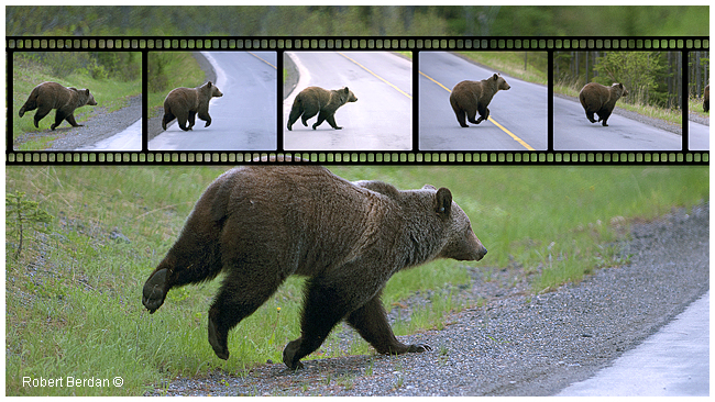 Grizzly bear running across the road in Kananaskis by Robert Berdan