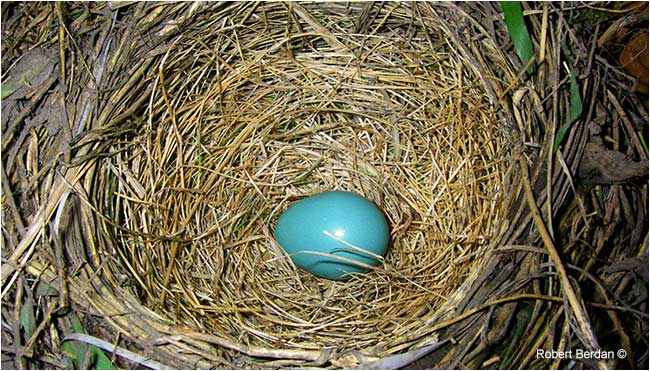 One robin egg in the nest by Robert Berdan ©