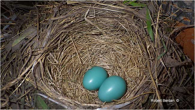 Two robin eggs in the nest by Robert Berdan ©