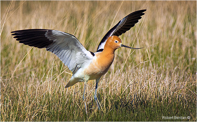 American Avocet spreading its wings by Robert Berdan
