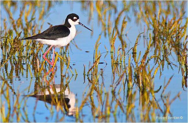 Black-necked Stilt by Robert Berdan