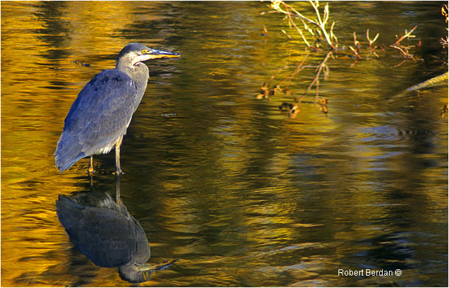 Blue heron by Robert Berdan ©
