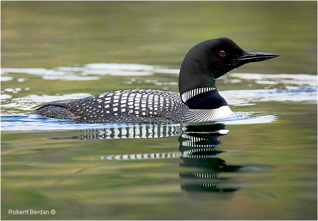 Common loon by Robert Berdan ©