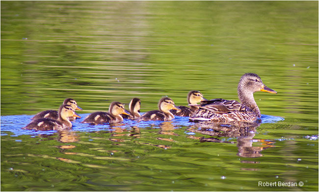 Mallard and ducklings by Robert Berdan ©