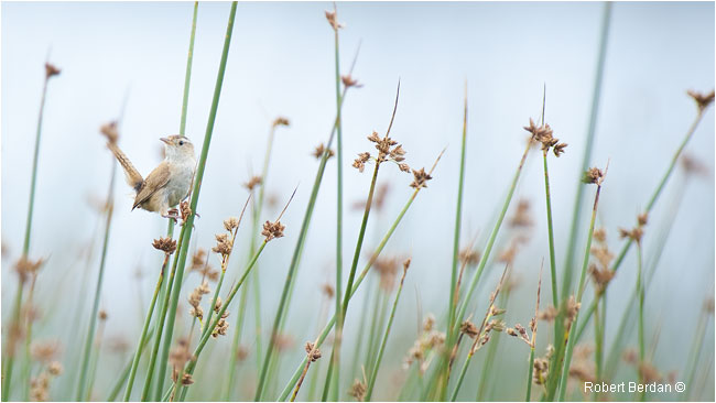 Marsh Wren by Robert Berdan ©