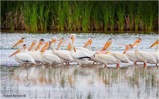 White Pelicans in Marsh near Brooks, AB by Robert Berdan ©